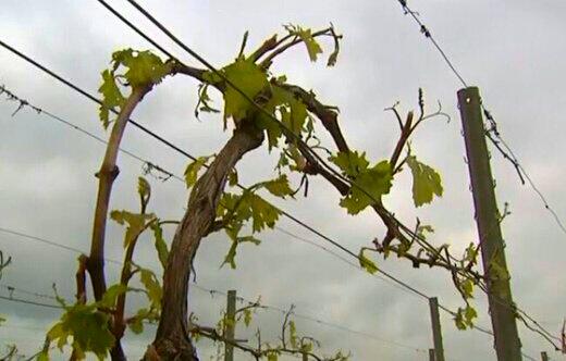Après le gel, le vignoble de Chablis, touché par la grêle...